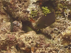 Intermediate Latent slingjaw wrasse hunting, Epibulus brevis, UP11887 Stock Footage