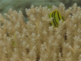 Stock Video Footage of Fish | Butterflyfish | Eight-banded Butterflyfish | Feeding | Medium Shot