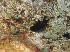 Unidentified nudibranch, Unknown Species, UP11897 Stock Footage