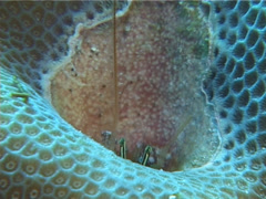Spotted coral hermit shrimp feeding, Paguritta harmsi, UP11907 Stock Footage