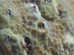Stock Video Footage of Crustaceans | Barnacles | Coral Barnacle | Feeding | Medium Shot