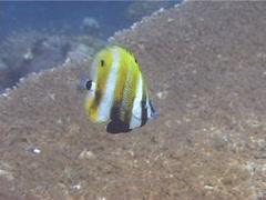 Orangebanded coralfish swimming, Coradion chrysozonus, UP11922 Stock Footage