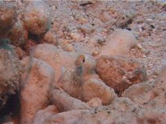 Sand smasher mantis shrimp walking, Odontodactylus latirostris, UP11942 Stock Footage