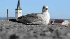 Gull Resting on Ground Near Ocean - stock footage