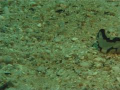 Brown-ringed slug walking, Philinopsis pilsbryi, UP11971 Stock Footage