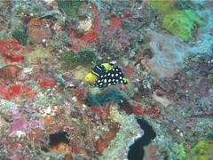 Juvenile Clown triggerfish swimming, Balistoides conspicillum, UP11986 Stock Footage
