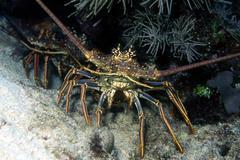 Caribbean spiny lobster Stock Photos
