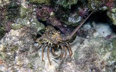 caribbean spiny lobster, panulirus argus - stock photo