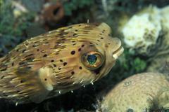 Balloonfish, diodon holocanthus Stock Photos