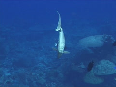 Humpback unicornfish swimming, Naso brachycentron, UP12014 Stock Footage