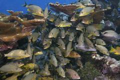 Bluestriped grunt, Florida Keys National Marine Sanctuary Stock Photos