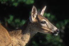 Key deer, Odocoileus virginianus clavium, Florida Keys Kuvituskuvat
