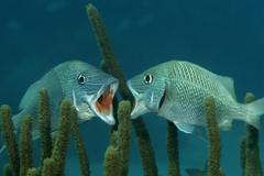 Kissing grunt - stock photo