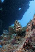 Nassau grouper, Epinephelus striatus, Key Largo, Florida - stock photo