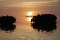 Red mangrove auringonlaskun, Florida Keys Kuvituskuvat