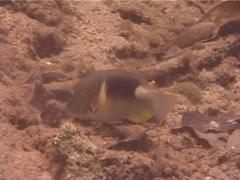 Anchor tuskfish feeding, Choerodon anchorago, UP12043 Stock Footage