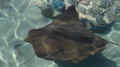 Electric ray fish. Discovery Cove, Orlando, USA. Stock Footage