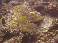 Yellowfin goatfish hovering and schooling, Mulloidichthys vanicolensis, UP12113 Stock Footage