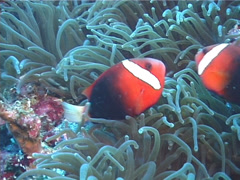 Red-and-Black anemonefish swimming, Amphiprion melanopus, UP12119 Stock Footage