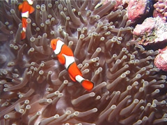 Clownfish swimming, Amphiprion percula, UP12155 Stock Footage