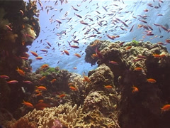 Ocean scenery with anthias on shallow coral reef, UP12165 Stock Footage