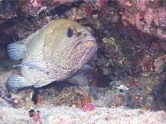 Camouflage grouper, Epinephelus polyphekadion, UP12175 Stock Footage