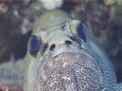 Camouflage grouper, Epinephelus polyphekadion, UP12177 Stock Footage
