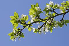 Flowering apple-tree Stock Photos