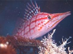 Longnose hawkfish, Oxycirrhites typus, UP12204 Stock Footage