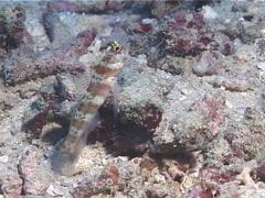 Broad-banded shrimpgoby, Amblyeleotris periophthalma, UP12257 Stock Footage