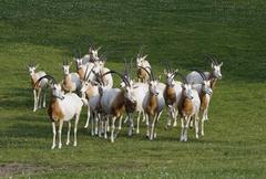 Herd of antelopes Stock Photos