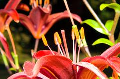 A close up of the flower of lily. Lilium pensylvanicum - stock photo