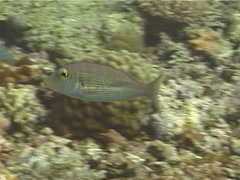 Ambon emperor swimming, Lethrinus amboinensis, UP12316 Stock Footage