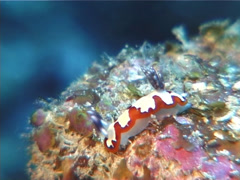 Red edge blacktip slug walking, Chromodoris fidelis, UP12320 Stock Footage