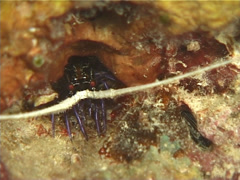 Juvenile Painted spiny lobster at night, Panulirus versicolor, UP12346 Stock Footage