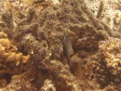 Bluntsnout gregory swimming on algae, Stegastes punctatus, UP12352 Stock Footage