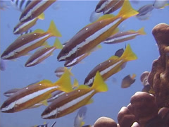 Two-spot snappers hovering and schooling, Lutjanus biguttatus, UP12434 Stock Footage