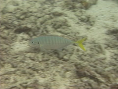 Stock Video Footage of Yellowtail scad swimming, Atule mate, UP12436