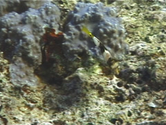 Juvenile Checkerboard wrasse hunting, Halichoeres hortulanus, UP12447 Stock Footage