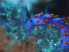 Hot pink firetip slug swaying, Cuthona sibogae, UP12458 Stock Footage
