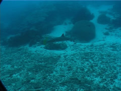 Whitetip reef shark swimming, Triaenodon obesus, UP1250 Stock Footage