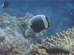 Reticulated butterflyfish swimming, Chaetodon reticulatus, UP12510 Stock Footage