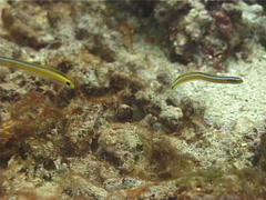 Curious wormfish hovering, Gunnelichthys curiosus, UP12541 Stock Footage
