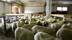 Flock of sheep in a rural fold. Selective focus. - stock footage