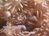 Stock Video Footage of Cnidarians | Hard Corals | Daytime Coral | Feeding | Extreme Close Up