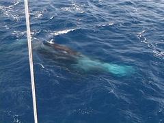 Humpback whale, Megaptera novaeangliae, UP12607 Stock Footage