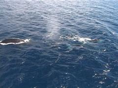 Humpback whale, Megaptera novaeangliae, UP12608 Stock Footage