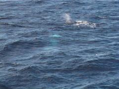 Humpback whale, Megaptera novaeangliae, UP12609 Stock Footage