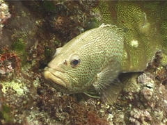 White-lined rockcod hovering, Anyperodon leucogrammicus, UP12656 Stock Footage