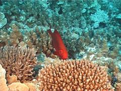 Crescent-tail bigeye swimming, Priacanthus hamrur, UP12693 Stock Footage